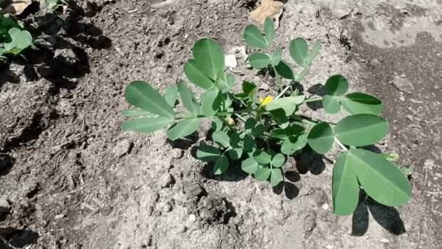 Вырастить арахис на даче легко. Важные моменты и нюансы ухода