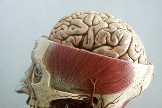 5 фактов о человеческом мозге, которые вас удивят