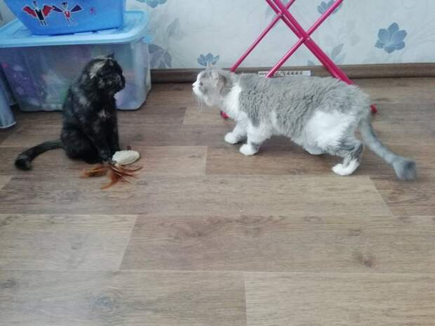 Экзотическая кошка отказывалась от любой еды и лишь жалобно мяукала кошка, экзот, экзотическая кошка