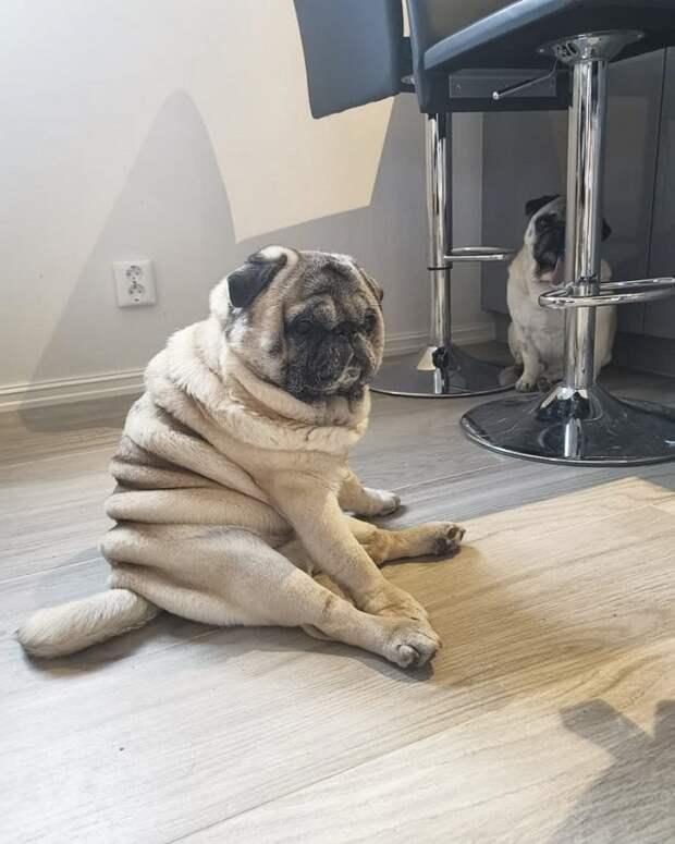 Мопс сидит