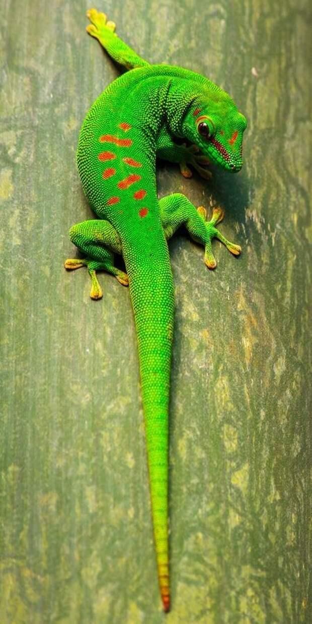 У ящериц гекконов веки отсутствуют, поэтому они вынуждены периодически смачивать специальную прозрачную мембрану на глазах своим языком. интересное, рептилии, ящерицы