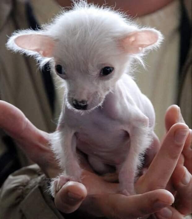 Китайский хохлатый щенок сидел под моей дверью, оказалось, что его мне подкинула таджичка