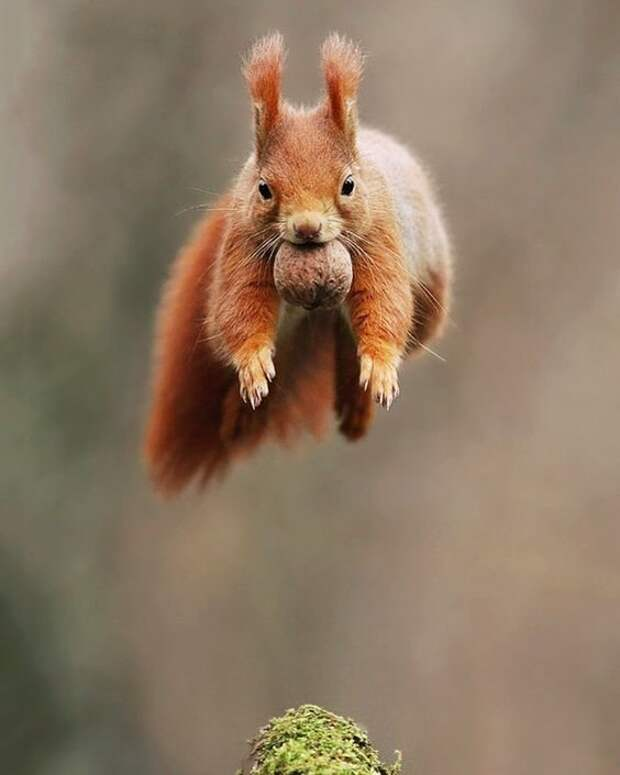Грызуны тоже умеют летать животные, красота, полет, природа, прыжок, удживительное