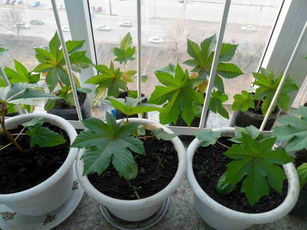 Как правильно посеять дома клещевину, чтобы получить хорошую рассаду
