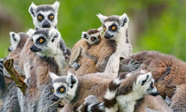 Лемуры живут на Мадагаскаре