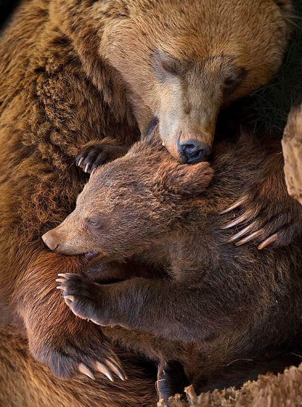 Мама как призвание: медведица за детей убьет супруга, а осьминожиха – умрет с голоду