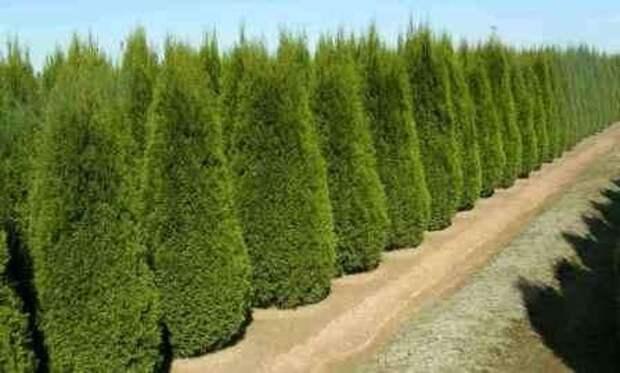 Западная туя – это растение, которое очень часто применяется для создания живой изгороди
