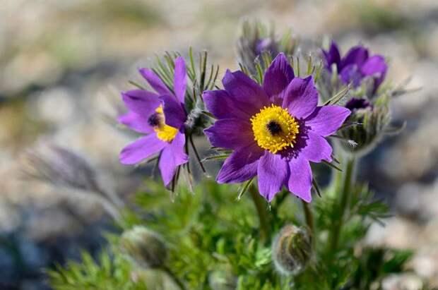 Цветок из сказки. Как вырастить сон-траву у себя на участке?