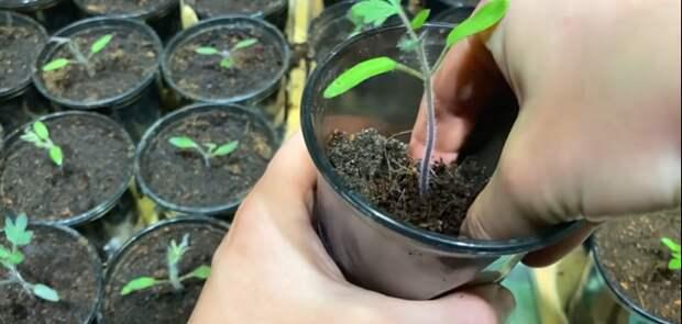 Вношу по чайной ложке под рассаду помидор при пикировке, рассада крепкая и приземистая