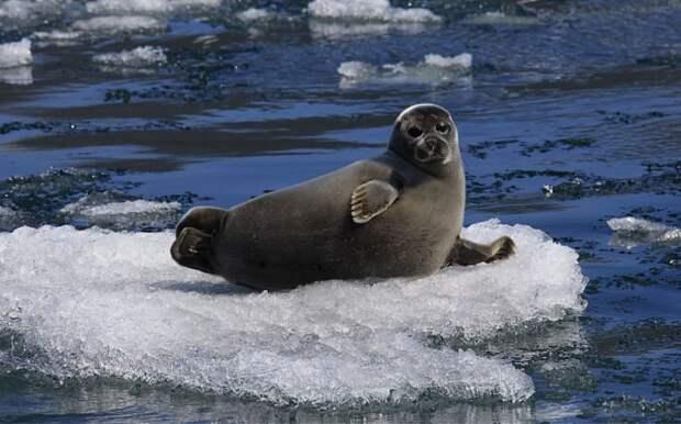 В Иркутской области 30 нерп уплыло  на дрейфующей льдине из Байкала по Ангаре