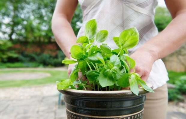 9 растений, которые можно выращивать на кухне и использовать в готовке