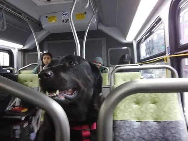 Собака приходит на остановку, садится в нужный автобус и едет в центр города, но никто этому не удивляется