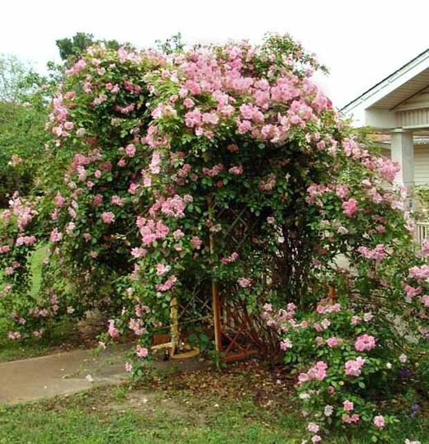 почему плохо цветет плетистая роза
