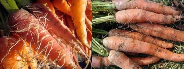 Волосатая морковь