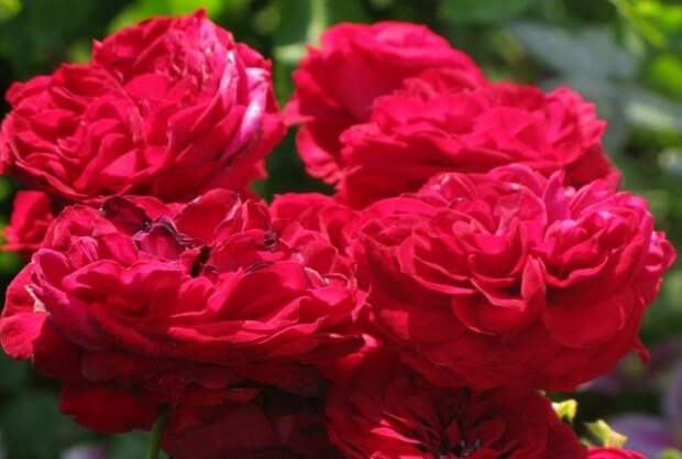 флорибунда Роза Rotkappchen