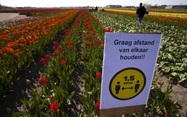Очень больно и жалко. В Нидерландах из-за коронавируса уничтожили 140 млн тюльпанов.