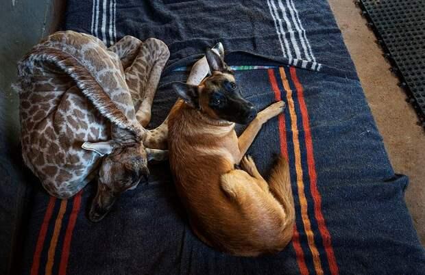 Трогательная дружба жирафенка и сторожевого пса в приюте для животных