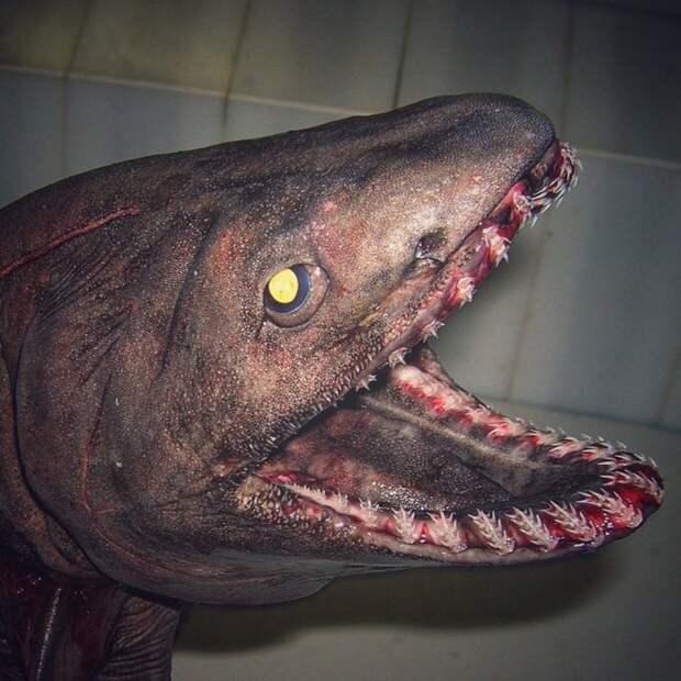 Одна из самых древних акул... попалась в #трал. #зубы что надо. twitter, Социальные сети, вода, монстр, рыба, рыбак