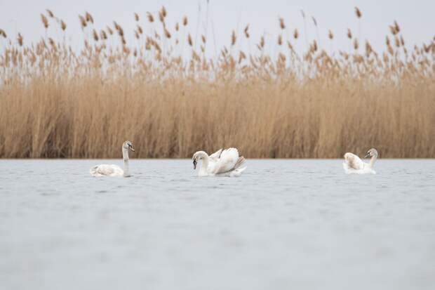 Тело лебедей покрыто 25 тыс. перьев.
