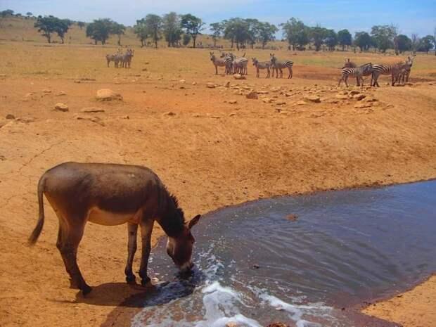 Мужчина каждый день возит воду изнывающим от жажды диким животным