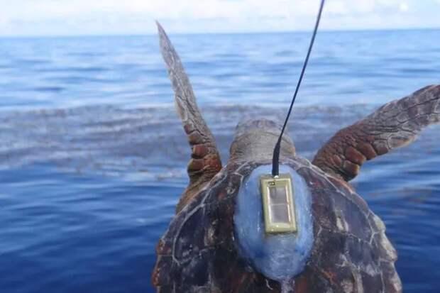 Исследователи с помощью крошечных трекеров выяснили, куда пропадают молодые зеленые черепахи