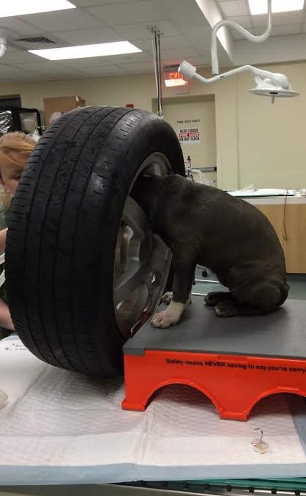 Бюрократия по-американски или как на самом деле сложно вызволить щенка из плена америка, бюрократия, животные, застрял, плен, собака, спасение, шины