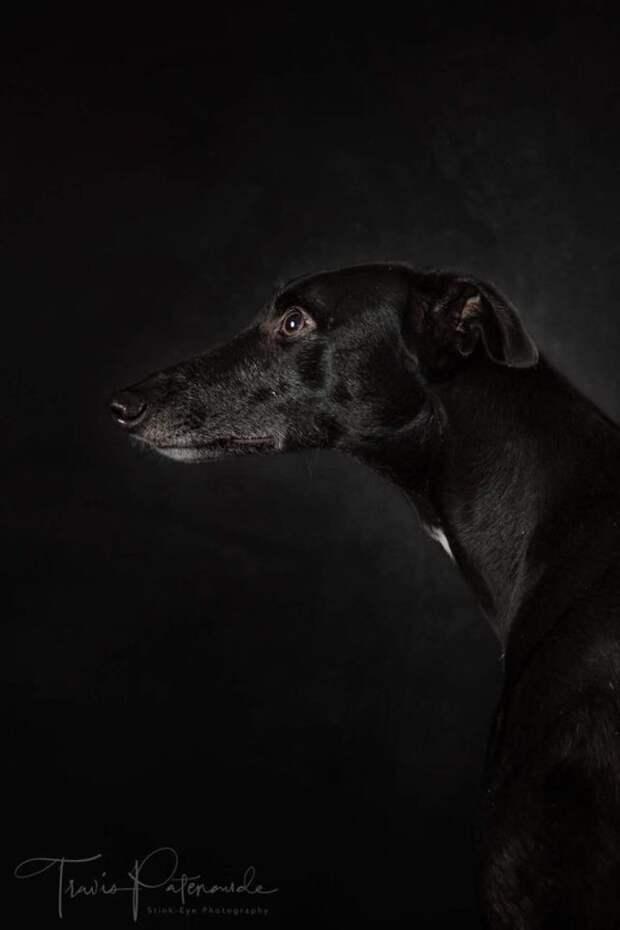 22. Порода, борзая, гальго, животные, испания, собака, спасение, фотография