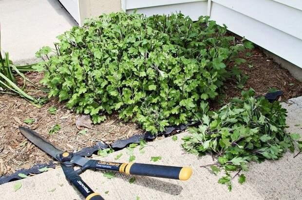 Как сохранить хризантемы зимой не выкапывая: 5 полезных подсказок, чтобы не остаться без красоты в следующем сезоне
