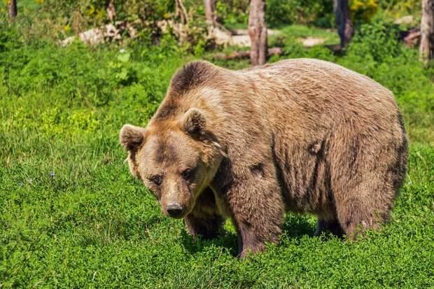 Медведь сбежал из гольф-клуба в Мытищах