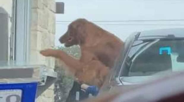 Нет времени объяснять: нетерпеливая собака выскочила из машины и требует свой десерт в кофейне