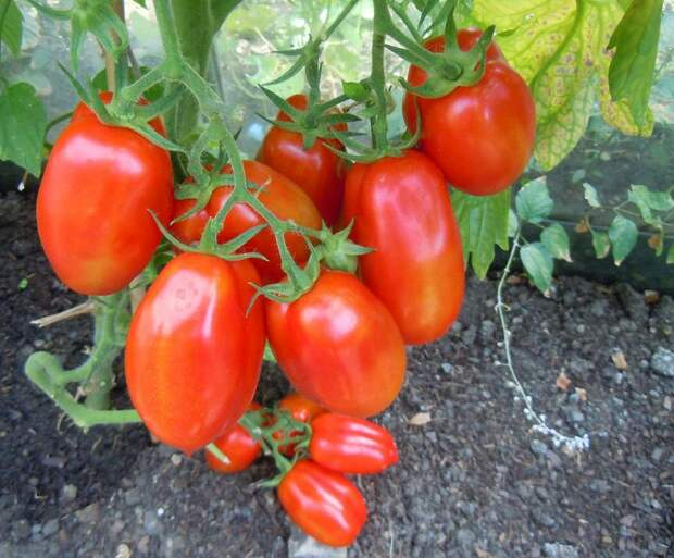 Что использовать для подкормки помидоров?