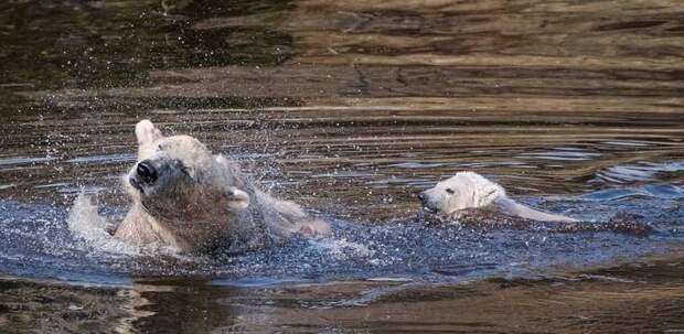 Малыш впервые вышел из берлоги 20 марта великобритания, детеныш, животные, медвежонок, пол, полярный медведь, шотландия