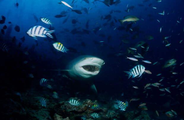 Молодая акула-бык. Фото Клаус Йост