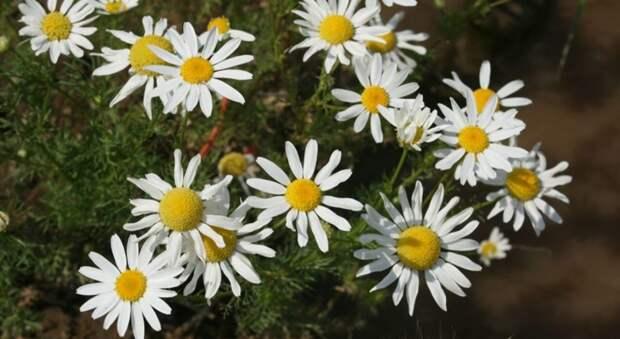 Как отличить лекарственные растения от их двойников