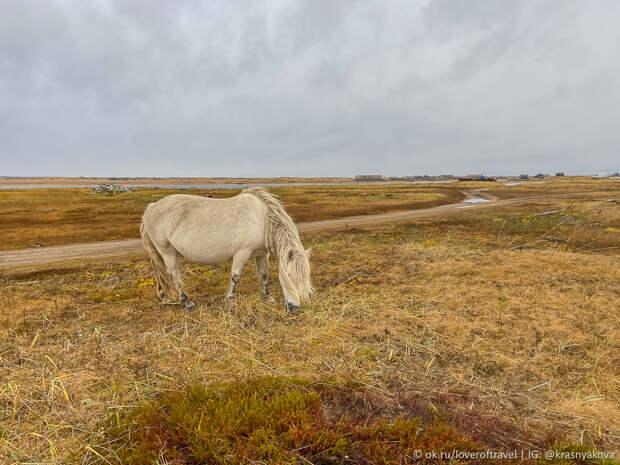 Дикие лошади в Кузомени.jpg