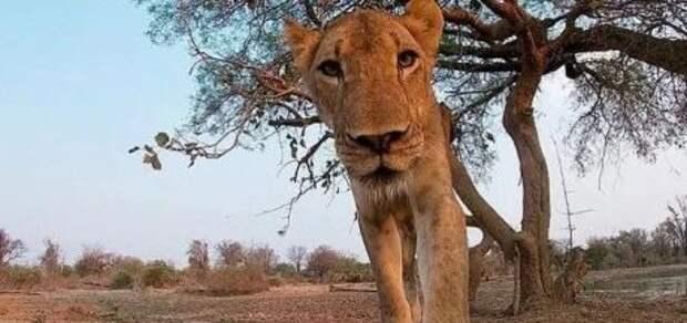 Пользователей Сети поразило видео, как львица набросилась на камеру и съела ее