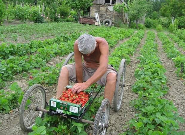 Самодельный способ сбора урожая дача, клубника, на заметку, огород, сбор урожая, фото