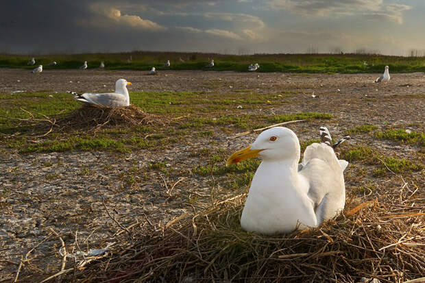Чайка: 10 негативных особенностей своенравной и задиристой птицы