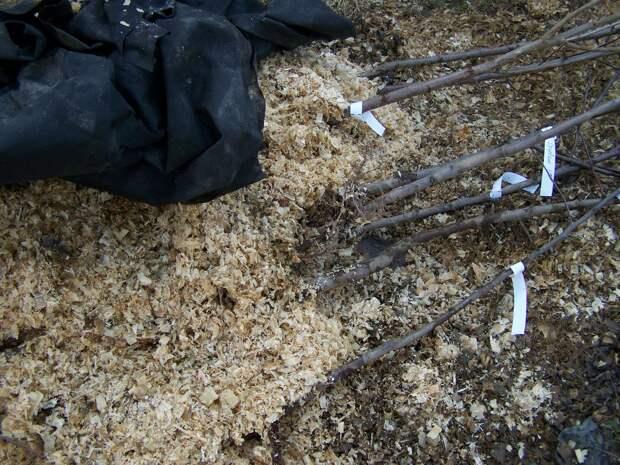 Как выбрать саженцы для своего сада