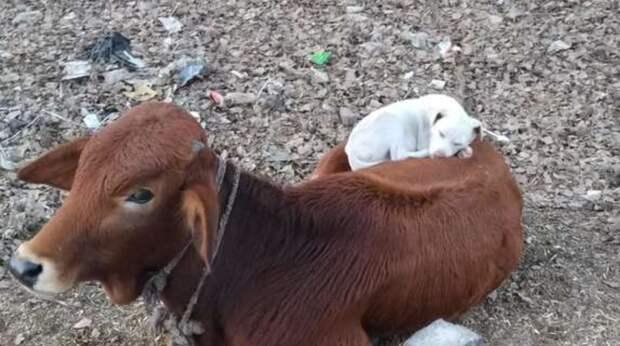 Мужчина замер, увидев, как собака спит прямо на спине у коровы