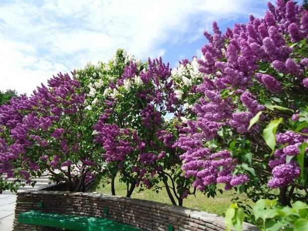 Сирень — ароматная королева садов!