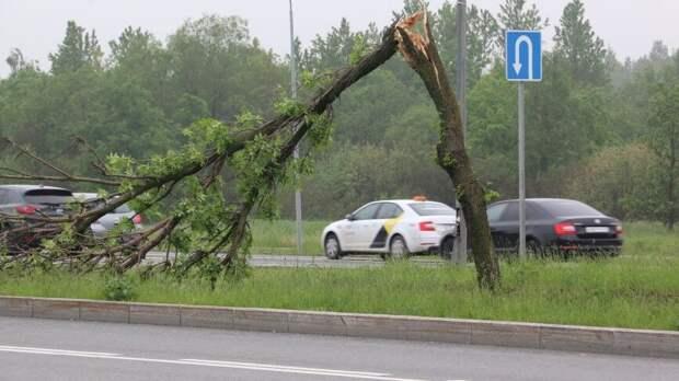 Поваленное ветром дерево насмерть придавило пенсионерку в Подмосковье