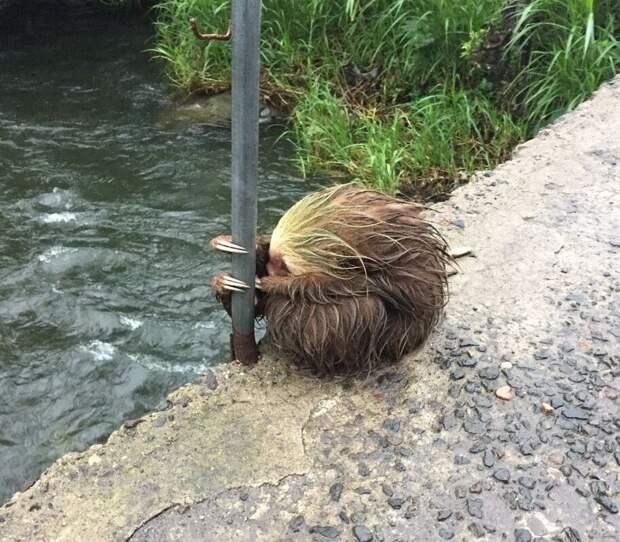 Испуганный ленивец во время урагана «Отто», который обрушился на Коста-Рику