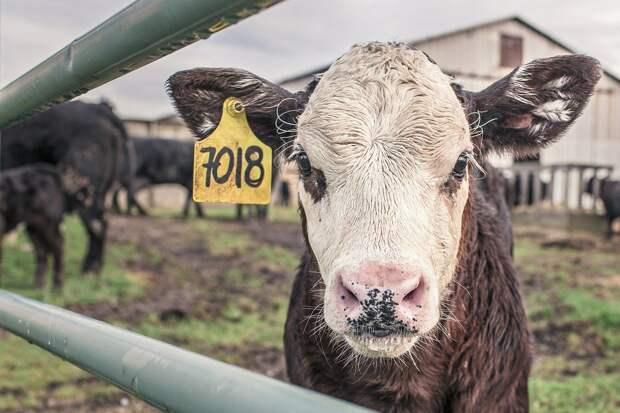 Под Москвой протестировали очки виртуальной реальности для коров