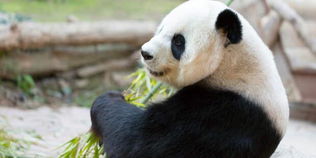 В Московском зоопарке отметили день рождения панд