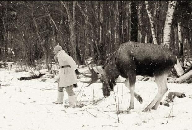 Лосей в армии начали использовать еще до войны. /Фото:Популярная механика