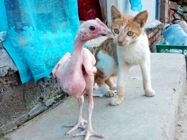 Зачем израильские селекционеры вывели голую курицу