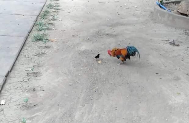 Смешное видео: храбрый крохотный цыпленок гоняет петуха