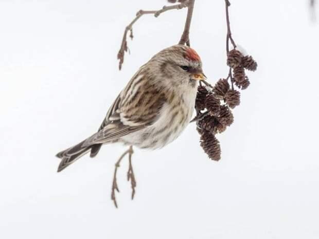 В парке «Северное Тушино» поселилась птичка – чечётка