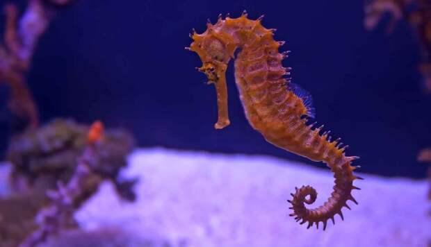 Как выглядит морской конек
